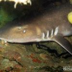 Sharks - Scuba Diving Thailand Pattaya Dive Trips