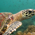 Hawksbill Turtle - Scuba Diving Thailand Pattaya Dive Trips